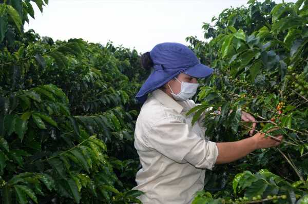 High-End Coffee Harvest Imperiled by Virus-Fueled Labor Crunch