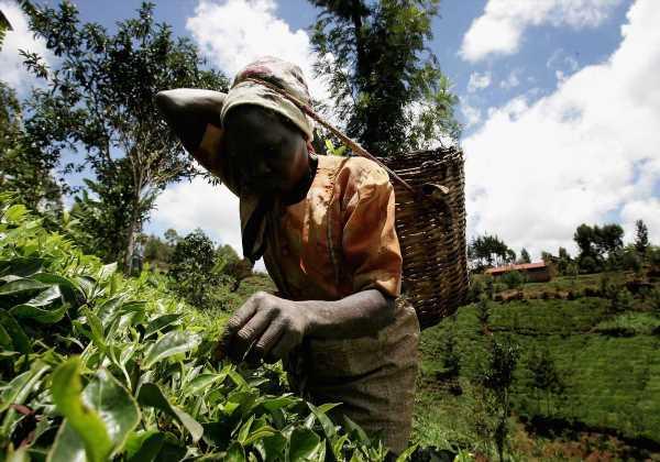 Unilever to Place Limuru Tea of Kenya Under Separate Company