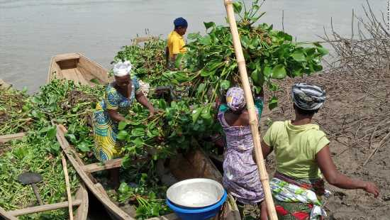 Green Keeper Africa employs women from local communities to harvest the aquatic weed.