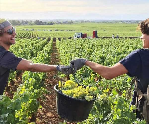 Around the World, the 2020 Wine Harvest May Be Most Troubled Ever