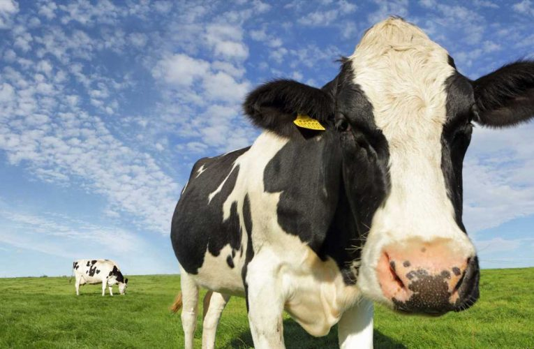 Meet the dairy firm hoping to power its delivery trucks using cow manure