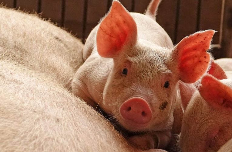 Huawei is reportedly working on pig-farming AI, as US sanctions continue to hit smartphone sales